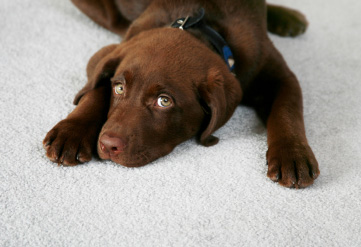 Pet Stains & Odors