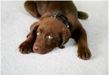 pet stains and odor - wizard carpet care - central coast carpet cleaning